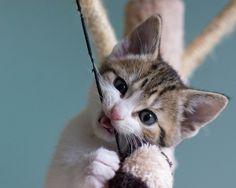 Os gatos têm muitos hábitos que são estranhos para a gente, e comer coisas não comestíveis é um deles. Desde plástico, tecidos, meias, até areia do banheirinho. Normalmente o comportamento acontece uma vez ou outra, ou só na infância do gatinho. Mas caso ele se torne recorrente é considerado uma síndrome chamada pica.