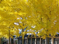 Yellow trees, Longwood gardens