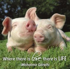 <3 Please skip the bacon, folks... It's just not worth it... Bad for your health, the environment and most of all, these little cuties <3 adorable! <3 #MyVeganJournal