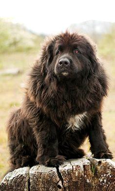 Newfoundland Dog ~ The Gentle Giant!