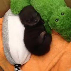 Sleeping baby otter.