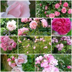 Rosé Rozen in onze tuin. In mei en juni hebben ze al gebloeid. Voor de doorbloeiers heb ik de uitgebloeide bloemen verwijderd, om zo te zorgen dat ze ook weer nieuwe bloemen vormen.