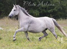 198 Pluto Athena. Breeding mare. Mare family: 555 Generale Lipizzan stud