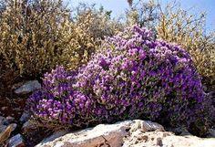 Aromatic Herbs, Medicinal Herbs, Santorini, Crete Holiday, Planting Plan, Mediterranean Garden, Unique Plants, Lilac Flowers, Shrubs