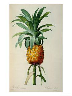 Bromelia Ananas, from Les Bromeliacees reproduction procédé giclée par Pierre-Joseph Redouté sur AllPosters.fr