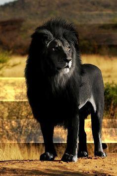""""""" Rare black Lion."""""""