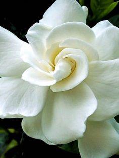 August Beauty Gardenia Exotic Flowers, White Flowers, Pretty Flowers, Most  Beautiful Flowers,