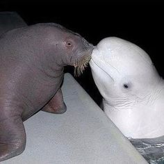 Valentines Day for Animals...Walrus & Beluga Whale Kiss