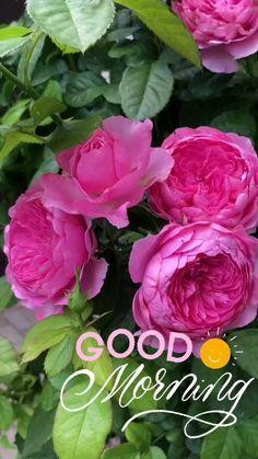 Good Morning Beautiful Flowers, Good Morning Roses, Good Morning Image Quotes, Good Morning Beautiful Quotes, Good Morning Sunshine, Beautiful Rose Flowers, Morning Quotes, Good Morning Flowers Pictures, Good Morning Photos