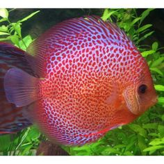 Image from http://www.poisson-or.com/64676-37741-thickbox/discus-leopard-spotted-eruption-8cm.jpg.