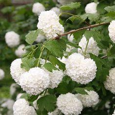Buy snowball tree ( syn. Sterile ) Viburnum opulus 'Roseum': Delivery by Crocus