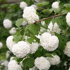 Buy snowball tree ( syn. Sterile ) Viburnum opulus 'Roseum': Delivery by Crocus