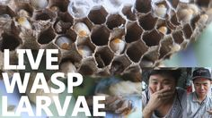 bizarre food. Eating Bugs - LIVE Wasp Larvae in Saigon, Vietnam 2014.