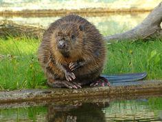 All sizes | 8030/ Europeisk bäver / Eurasian Beaver (Castor fiber)