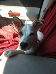 BRUCE WILLIS is an adoptable Jack Russell Terrier Dog in Jersey City, NJ. BRUCE WILLIS is a 5-6 month old sweetheart. Look at that face ! A JRT/Hound mix whose a little nugget. He's friendly, sweet, g...