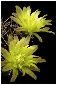 Davis' Hedgehog Cactus, Dwarf Hedgehog Cactus (Echinocereus davisii) A cylindrical cactus.