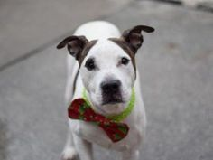 MURDERED - GOOD BOY TITO WAS RETURNED! **SUPER URGENT** 12/27/16 My name is TITO. My Animal ID # is A1099880. I am a male white and br brindle pit bull mix. The shelter thinks I am about 3 YEARS old. I came in the shelter as a STRAY on 12/16/2016 from NY 11229, owner surrender reason stated was STRAY. I came in with Group/Litter #K16-084578.
