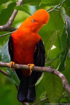 Gallito de las Rocas (Andean Cock-of-the-rock)  Peruvian National Bird / Ave Nacional del Perú