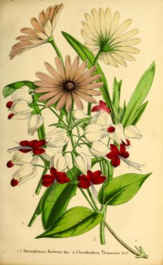 Clerodendrum thomsoniae and Dimorphotheca barberae - circa 1863