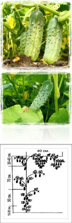 Агротехника выращивания рассады огурцов. Формирование растений. Таблица подкормки огурца. Подвязка растений. Оптимальная температура | Сад и огород - ОГУРЦЫ | Постила