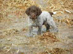 Wisconsin.Wirehaired Pointing Griffon pup