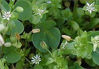 Chickweed:  Very abundant in spring, this plant is great for skin, weight loss and rheumatic complaints.  Tasty too, can be used in salad or cooked.