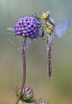 Dragonfly, spiderweb, flower