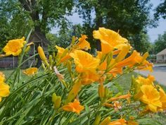 daylily-flowers - dividing plants