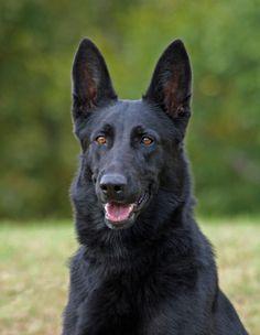 All-Black German Shepherd | German Shepherd Dog Photograph by Sandy Keeton - Black German Shepherd ...