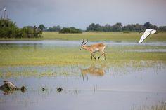 Sacred ibis with male lechwe in the Jao Floodplains #OkavangoDelta #Botswana #safari