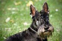Scottish Terrier | Temperament & Personality