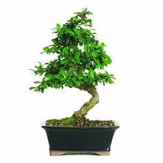 Bonsai Trees For Sale, Bonsai Tree Care, Indoor Bonsai Tree, Indoor Flowering Plants, Flowering Trees, Potted Trees, Potted Plants, Mini Bonsai, Arce Palmatum
