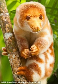 Spotted cuscus- my new favorite animal!