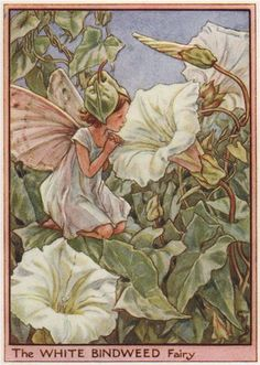 FLOWER FAIRIES/BOTANICALS: The White Bindweed Fairy; This is an original vintage Cicely Mary Barker Flower fairies colour print. It is not a modern reproduction, c1948; approximate size 11.0 x 7.5cm, 4.25 x 3 inches
