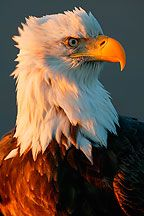 Bald Eagle - I dare you to cross that line.