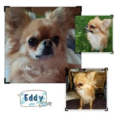 Chihuahua, Ice, Dogs, Animals, Animales, Animaux, Pet Dogs, Doggies, Animal