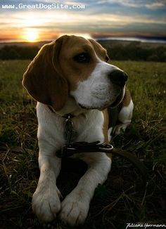 """OMG, this little guy looks just like a beagle I had growing up named """"Muffin"""".  He's super adorable!"""