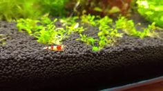 LG g4 4k crystal red & amano shrimp