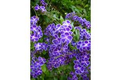 Duranta Geisha Girl have fragrant vanilla flowers that are purple with white centres and wavy petal edges. It is a fantastic plant for hedging, and they grow very succesfully in containers. Originating from Japan, it is a stunning deep blue form of Duran Duranta, Hedges, Geisha, Purple, Garden, Flowers, Plants, Garten, Lawn And Garden