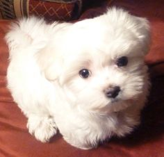 My Maltese, Sophie.  In this picture she was about 3 months old.