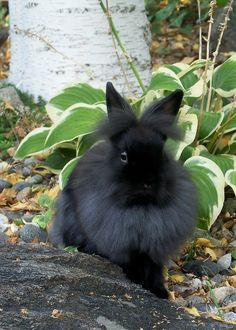 ˚Black Lionhead Rabbit