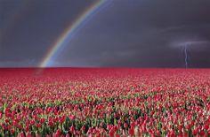 Google Image Result for http://onebigphoto.com/uploads/2012/04/rainbow-over-tulip-field.jpg