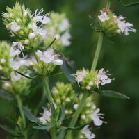 Hyssopus officinalis albus