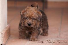 Osito The Full Monty   www.thenorfolkterrier.com.  Norfolk Terrier Puppy