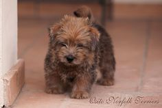 Osito The Full Monty   www.thenorfolkterrier.com.  Norfolk Terrier Puppy