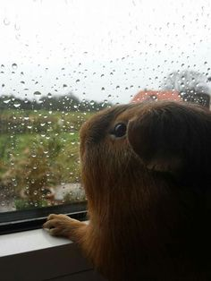 From the Guinea Pig Fun Facebook page: Rain, rain, go away...