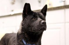 Akita lovers, take note! Janet is a long tall cool lady looking for her Forever Home. Janet is shy at first, but with a little patience, her fun, playful nature shines through. She absolutely loves walks through the woods and hanging out with other dogs. She would love a quiet home with kind people and another dog friend to play with! http://www.doggielife.com/ADOYYM #dogs #akita