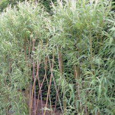 Salix viminalis, ook wel teenwilg of katwilg genoemd, is een kleine, meestal meerstammige, bladverliezende struik of boom met een bossige, breedgespreide habitus. De bladeren zijn langwerpig lancetvormig, dofgroen en behaard aan de bovenzijde en zilvergrijs aan de onderkant. De teenwilg bloeit in maart en april met zilverwitte mannelijke katjes met opvallende gele meeldraden of groenwitte vrouwelijke katjes. De boom is immers tweehuizig, mannelijke en vrouwelijke bloemen bloeien op aparte…