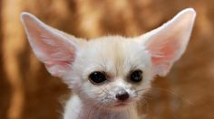 The authority guide for fennec fox pet owners. Information about vulpes zerda, fennic fox training and habits. A guide for keeping fennec foxes as pets. We offer care guides, nutrition guides and housing tips for your pet fennic fox. Mr fennec fox lists fennec fox pet legal states for first time buyers.
