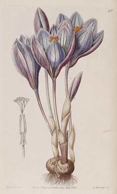 dreamssoreal: crocus 40 scientificillustration: n119_w1150 by BioDivLibrary on Flickr.